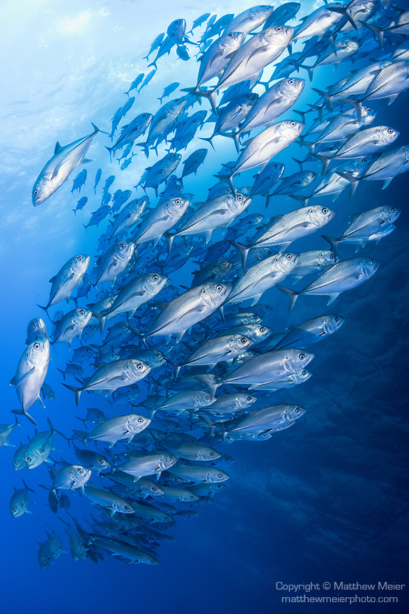 Roca Partida Island, Revillagigedos Islands, Mexico; a tight, detail view of a polarized school of bigeye jack fish swimming along the vertical rock wall