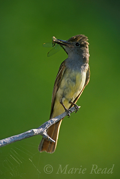 Great Crested Flycatcher (Myiarchus critinus) adult holding a dragonfly, New York, USA<br />