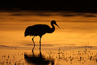 Sandhill Crane (Grus canadensis) silhouetted against sunset colored water at Bosque del Apache National Wildlife Refuge, San Antonio, New Mexico