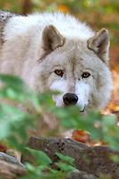 Arctic Wolf Portrait  #Z14