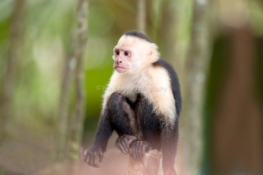 Capuchin Monkey - Manuel Antonio Park, Costa Rica.