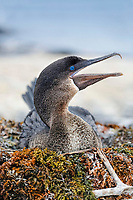 flightless cormorant, or Galapagos cormorant, Phalacrocorax harrisi, breeding on nest, Punta Espinoza, Fernandina Island, Galapagos Islands, Ecuador, Pacific Ocean