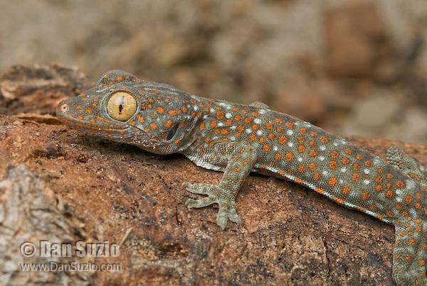 Tokay gecko, Gekko gecko, on Atauro Island, Timor-Leste (East Timor)