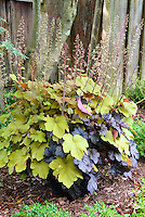 Two kinds of Heuchera planted in a pot in shade