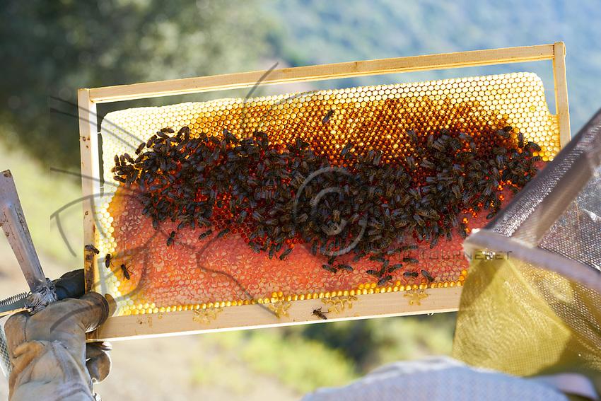 Black bees on a honey frame in Corsica. There are six varieties of honey from Corsica: &quot;Printemps&quot;, &quot;Maquis de printemps&quot;, &quot;Miellat du maquis&quot;, &quot;Maquis d'&eacute;t&eacute;&quot;, &quot;Ch&acirc;taigneraie&quot; and &quot;Maquis d'automne&quot;.<br /> Abeilles noires sur un cadre de miel en Corse. Il y a six vari&eacute;t&eacute;s de miels de Corse: &laquo; Printemps &raquo;, &laquo; Maquis de printemps &raquo;, &laquo; Miellat du maquis &raquo;, &laquo; Maquis d'&eacute;t&eacute; &raquo;, &laquo; Ch&acirc;taigneraie &raquo; et &laquo; Maquis d'automne &raquo;.