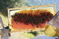"""Black bees on a honey frame in Corsica. There are six varieties of honey from Corsica: """"Printemps"""", """"Maquis de printemps"""", """"Miellat du maquis"""", """"Maquis d'été"""", """"Châtaigneraie"""" and """"Maquis d'automne"""".<br /> Abeilles noires sur un cadre de miel en Corse. Il y a six variétés de miels de Corse: « Printemps », « Maquis de printemps », « Miellat du maquis », « Maquis d'été », « Châtaigneraie » et « Maquis d'automne »."""
