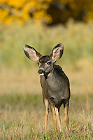Mule Deer, Capitol Reef National Park, Utah.  This deer is a five or six month old fawn which was born in the late spring; now it is mid fall.