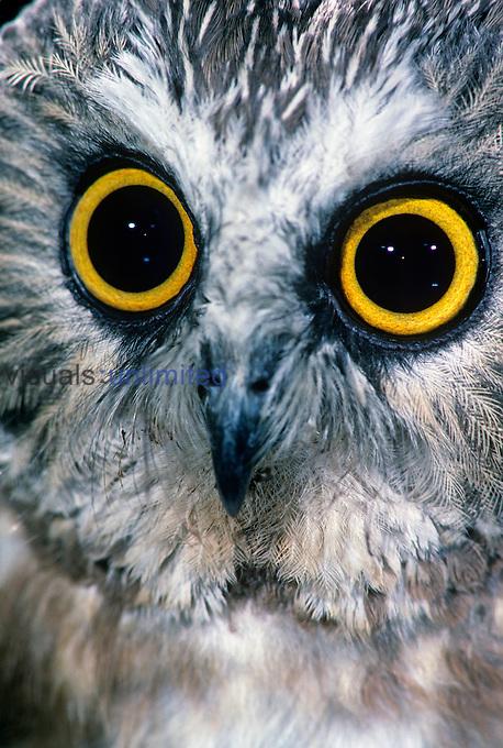 Northern Saw-Whet Owl face and eyes ,Aegolius acadius,, North America.