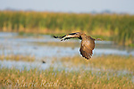 Limpkin (Aramus guarauna), in flight in a marsh, Osceola County, Florida, USA