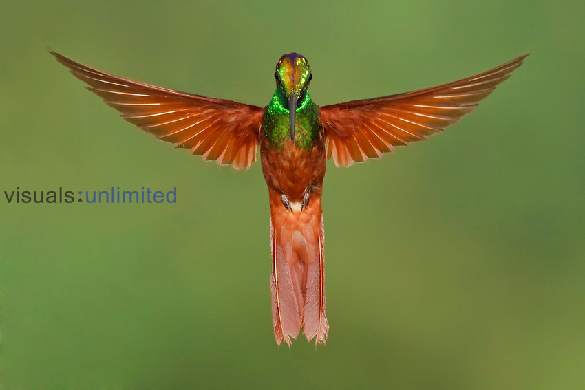 Rainbow Starfrontlet (Coeligena iris) hovering near a flower, Utuana Reserve, Ecuador.