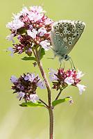 Chalkhill blue butterfly (Lysandra coridon) on marjoram. Denbies Hillside, Nr. Dorking, Surrey, UK.