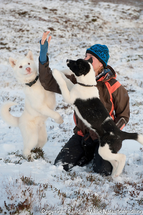 Dame leker med to grønlandshunder. ---- Woman playing with two greenland dogs.