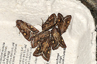 Bright-line Brown-eye Lacanobia oleracea Length 19-21mm. A richly-marked moth with an unimaginatively descriptive name. It rests with wings held flat. Adult has brown forewings with a submarginal<br /> jagged white line near the outer edge, indented to form the letter W along its length; the wings also bear an orange kidney-shaped mark and white-ringed circular spot. Flies May-July. Larva feeds on oraches and goosefoots. Widespread and common.