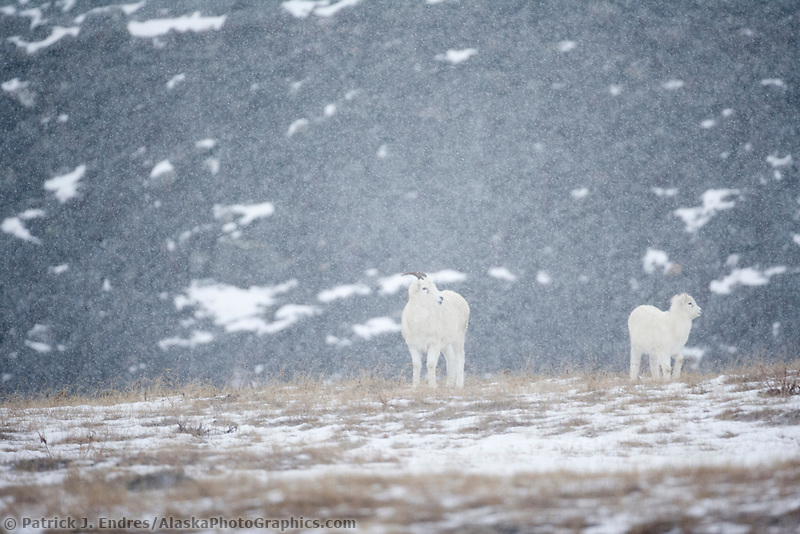 Dall sheep ewe and lamb in falling snow, Atigun Canyon, Brooks Range, Alaska.