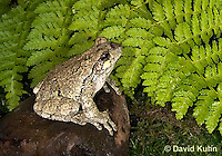 1219-1003  Eastern Gray Treefrog (Grey Tree Frog), Hyla versicolor  © David Kuhn/Dwight Kuhn Photography