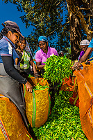 Women bring bags of tea that they have picked to be weighed (they are paid by the weight of the crop that they pick), Hayleys Somerset Tea Estate, Radella, Nanu Oya (near Nuwara Eliya), Central Province, Sri Lanka.