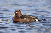Ferruginous Duck - Aythya ferruginea. L 38-42cm. Attractive diving duck. In flight, all birds show striking white wingbar on upperwing, white underwings and white belly. In all birds, cap is peaked and bill is mainly grey; pale band separates grey from dark tip. Sexes are separable with care. Adult male has rich, reddish brown plumage, darkest on back, almost black on rump and tail. Has white stern and white belly (latter only visible in flight) and white eye. Adult female is similar to adult male but reddish colouration is duller and eye is dark. Juvenile is similar to adult female but duller colours. Voice Mostly silent. Status Scarce visitor, mainly outside breeding season. Species' status is confused by presence of undoubted escapees from captivity. Favours lakes and flooded gravel pits.