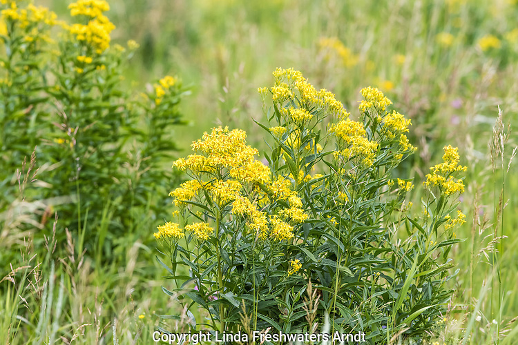 Western groundsel in Yellowstone National Park