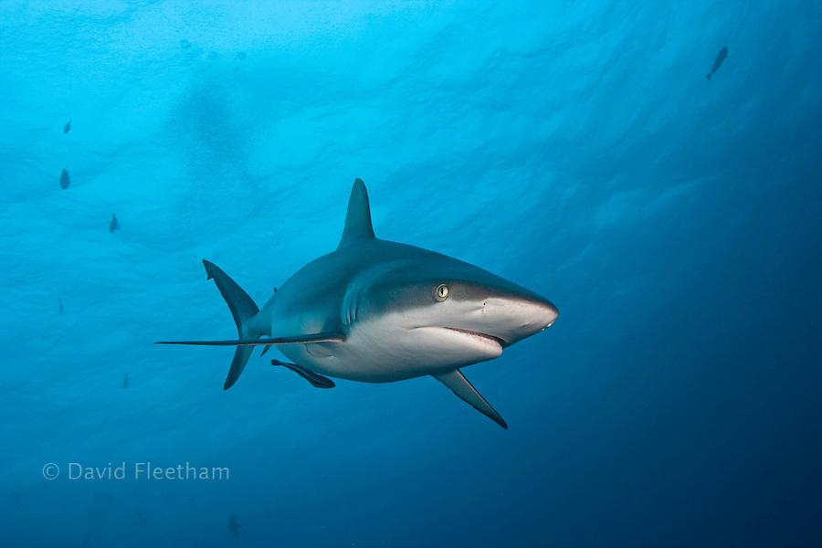 A gray reef shark, Carcharhinus amblyrhynchos, Yap, Micronesia.