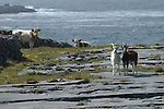 chèvres et vaches sur roche calcaire d'Inishmore (ouest de l'île).goats and cows on the limestone of the west coast of Inishmore