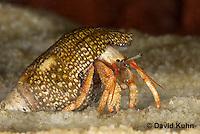 1206-0905  Aquatic, Underwater Hermit Crab, Dwarf Red Tip Hermit Crab, Clibanarius spp.  © David Kuhn/Dwight Kuhn Photography