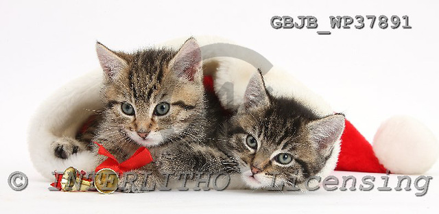 Kim, CHRISTMAS ANIMALS, photos, GBJBWP37891,#XA# stickers