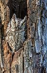 Eastern screech-owl (Otus asio), Texas, Starr County