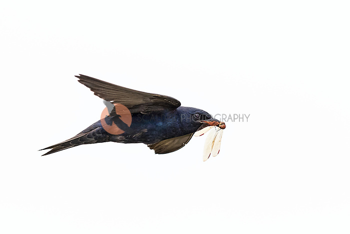 Male Purple Martin in flight with dragonfly in beak