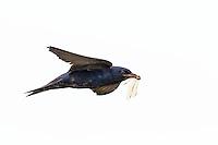 Male Purple Martin in flight with dragonfly in beak