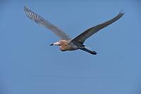 Reddish Egret (Egretta rufescens), adult, South Padre Island, Texas, USA