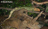 0522-1006  Northern Caiman Lizard (Guyana Caiman Lizard) Climbing in Tree, Dracaena guianensis  © David Kuhn/Dwight Kuhn Photography