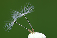 Two dandelion seed on a green background