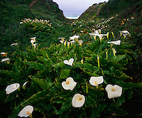 Garrapata State Park, CA<br /> Calla lilies blooming in the Doud Creek drainage at Garrapata Beach