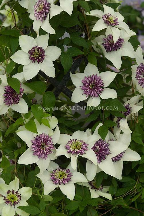 clematis florida 39 sieboldii 39 plant flower stock. Black Bedroom Furniture Sets. Home Design Ideas