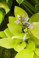 Hosta 'Blackfoot' in flower