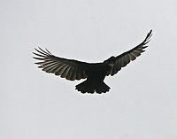 Flying male long-wattled umbrellabird