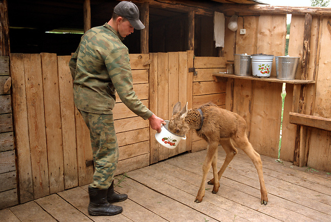 A Moose calf being fed oatmeal & milk in their pen at the Sumarokova moose farm. Kostroma, Russia.