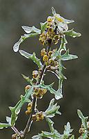 Agarita, Mahonia trifoliolata, Berberis trifoliolata, blossom after Ice Rain, San Antonio, USA, February 2003