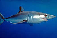 shortfin mako shark Isurus oxyrinchus California, East Pacific Ocean