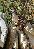 BNPS.co.uk (01202 558833)<br /> Pic: AdamTatlow/BNPS<br /> <br /> Partridge on a dry stone wall.<br /> <br /> Cotswold gamekeeper shoots amazing pictures of British wildlife - without the aid of long lenses and elaborate techniques.<br /> <br /> The incredible photos may look like they have been shot from miles away - but amazingly Adam Tatlow is actually just feet away from his wild subjects.<br /> <br /> The 46-year-old's affinity with nature has allowed him to get up close and personal with some of the UK's most endearing wildlife.<br /> <br /> Adam's trusty camera is never far from his side as he goes about his work as a gamekeeper on an estate in the Cotswolds countryside.<br /> <br /> He has built up a stunning portfolio of snaps that lift the lid on rarely-seen birds and animals found in forests throughout the country.<br /> <br /> Adam's subjects have included timid fox cubs, bounding hares, inquisitive hedgehogs and colourful kingfishers.<br /> <br /> He is so at one with nature that he knows how to call animals to him, and often gets within 30ft of them.