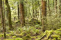 Native beech forest on Kepler Track, Fiordland National Park, UNESCO World Heritage Area, Southland, New Zealand, NZ