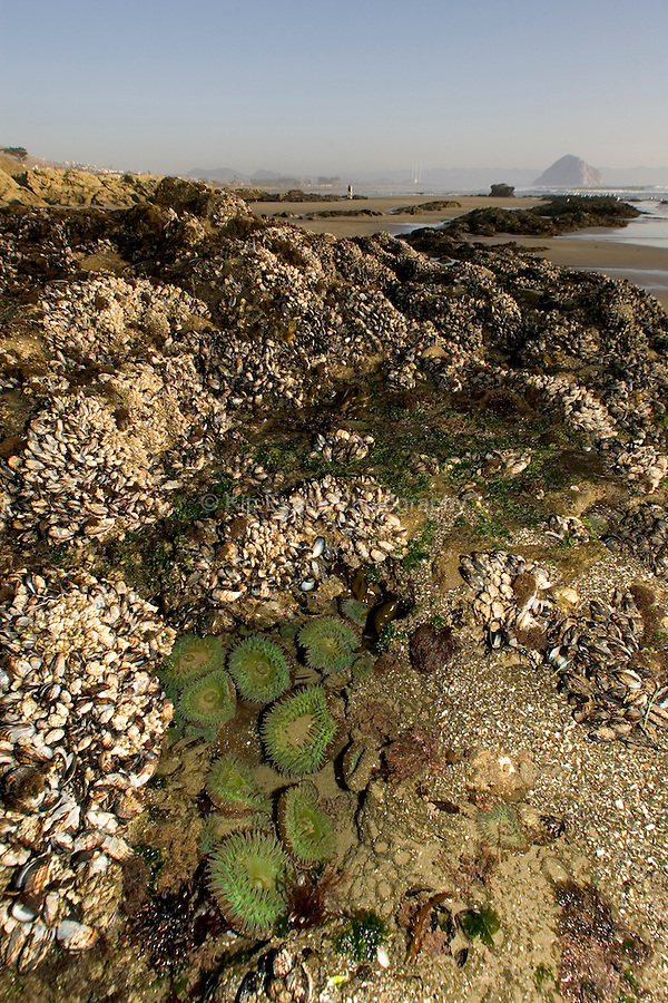 Giant Green Anemones (Anthopleura xanthogrammica) at Morro Rock