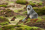 Portrait of an Antarctic fur seal sitting on moss covered rocks in Stromness, South Georgia.