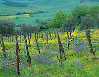 Tuscany, Italy      <br /> Sunrise over the vineyards and olive orchards in the rolling Tucsan countryside and the rolling hills beneath the hilltown of Montepulciano in the Val d'Orcia