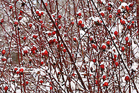 Snow covered wild rose hips along the banks of the Chilkat River outside of Haines Alaska.