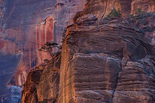 A lone Juniper grows from the sandstone walls at Zion National Park, Utah