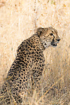 Cheetah (Acinonyx jubatus) female, Greater Makalali Private Game Reserve, South Africa