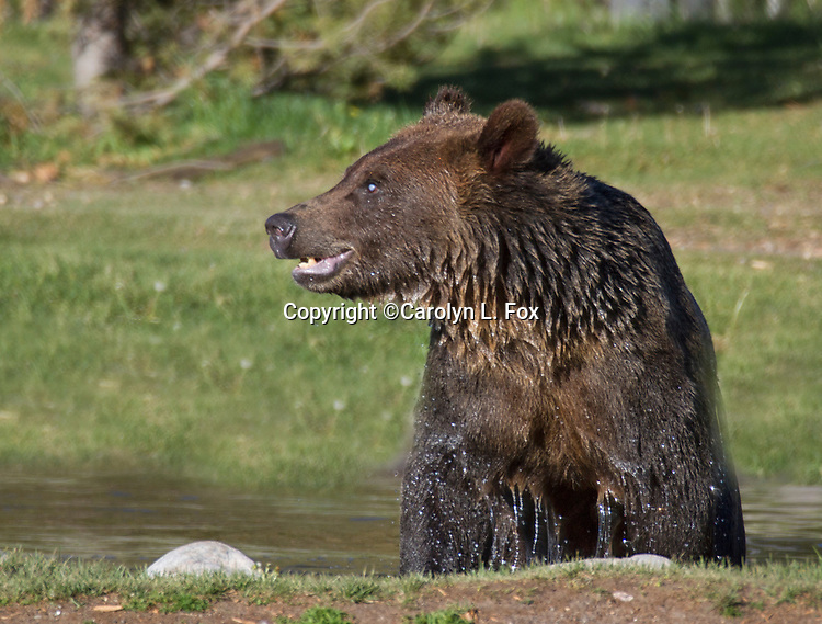 A grizzly bears seems to growl as he stands in the water.