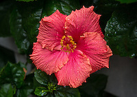 Hibiscus, outside Norris Hall of Chemistry, Dec. 22, 2015.<br /> (Photo by Marc Campos, Occidental College Photographer)