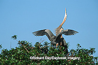 00684-029.20 Great Blue Heron (Ardea herodias) arriving at nest, mate skypointing   FL